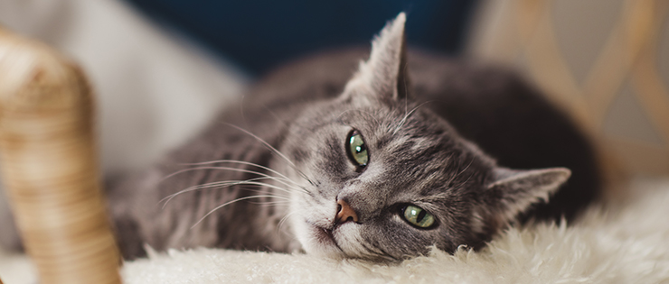 Feline Immunodeficiency Virus (FIV)