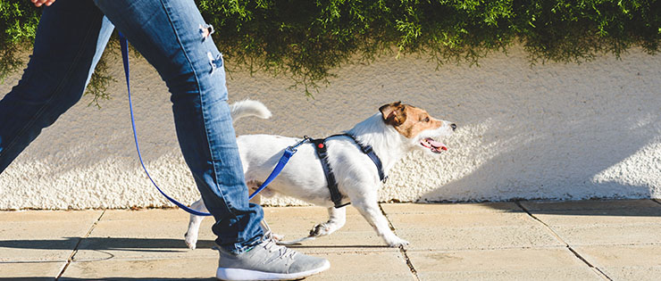 How Do I Teach My Dog to Walk on Lead?