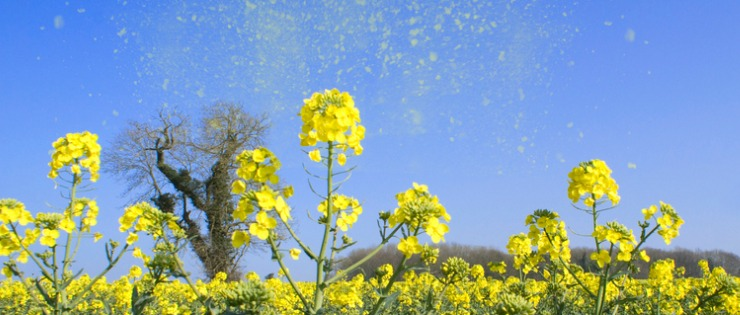 yellow flowers releasing pollen into the air which can cause hayfever