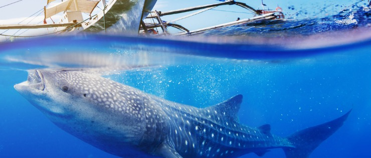 A whale shark swimming underwater in the Ningaloo Reef