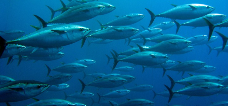 a school of tuna - rich sourch of omega 3 fatty acids but with the risk of heavy metals
