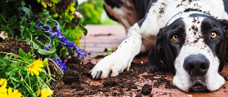 Great dane puppy knocking over pot plants and digging outside.