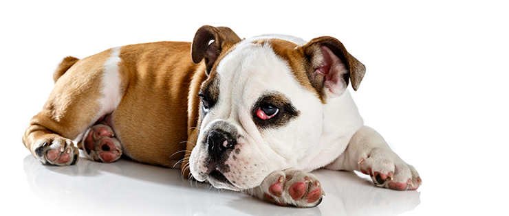 Cherry Eye in Dogs
