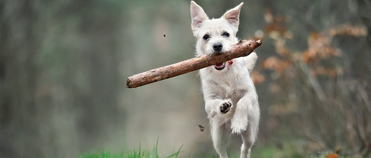 Dogs and Stick Injuries